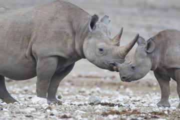 A black rhino and its calf