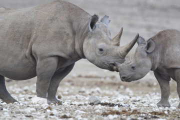 A black rhino and its calf