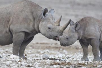 black rhino with calf