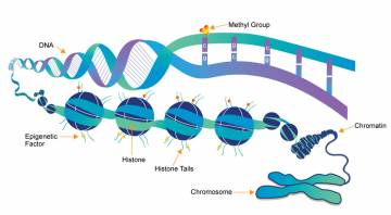 Epigenetics involves modifications to DNA that do not change its sequence but only affect which genes are active, or expressed. Photo courtesy of whatisepigenetics.com