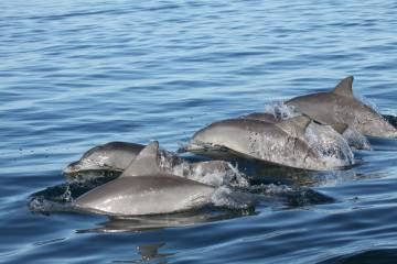 Strategic networking, dolphin-style: young dolphins seek out peers and activities that will help get them where they need to go, finds a new study. Photo by Madison Miketa, PhD, Shark Bay Dolphin Project.