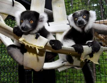 Lemurs Harriot and Helene at the Lemur Center