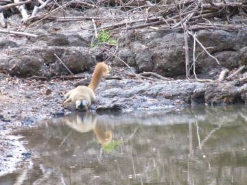 A red-fronted lemur in Kirindy Forest, Madagascar, tanks up at a watering hole. (Photo: Caroline Amoroso)