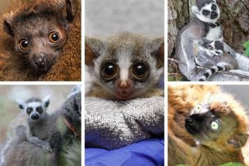 2021 Duke Lemur Center infants Clancy (top left), Atticus (bottom left), Coconut Palm (center), Scout (top right) and Malala (bottom right)