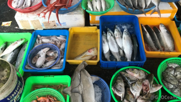 Thousands of species could be at risk if a new UN high-seas biodiversity treaty does not include measures to sustainably manage all fish species in international waters, not just the commercial species. (Credit: Guillermo Ortuño Crespo, Duke Univ.)