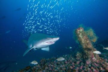 Photos from a citizen science project reveal shipwrecks off the N.C. coast are important habitats for sand tiger sharks, a species vulnerable to extinction. (Credit: John McCord, Coastal Studies Institute)