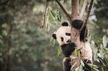 giant panda in a bamboo forest