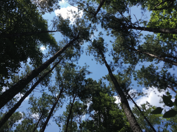 canopy of Duke Forest trees