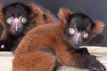 Critically endangered ruffed lemur (Varecia rubra) infants Judith and Mae were born at the Duke Lemur Center on May 14, 2018. Photo by David Haring.
