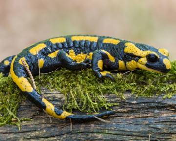 New findings about bone regeneration, such as in salamanders (pictured)