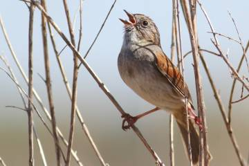 By faithfully copying the most popular songs, swamp sparrows create time-honored song traditions that can be just as long-lasting as human traditions, researchers report. Photo by Robert Lachlan, Queen Mary University of London.